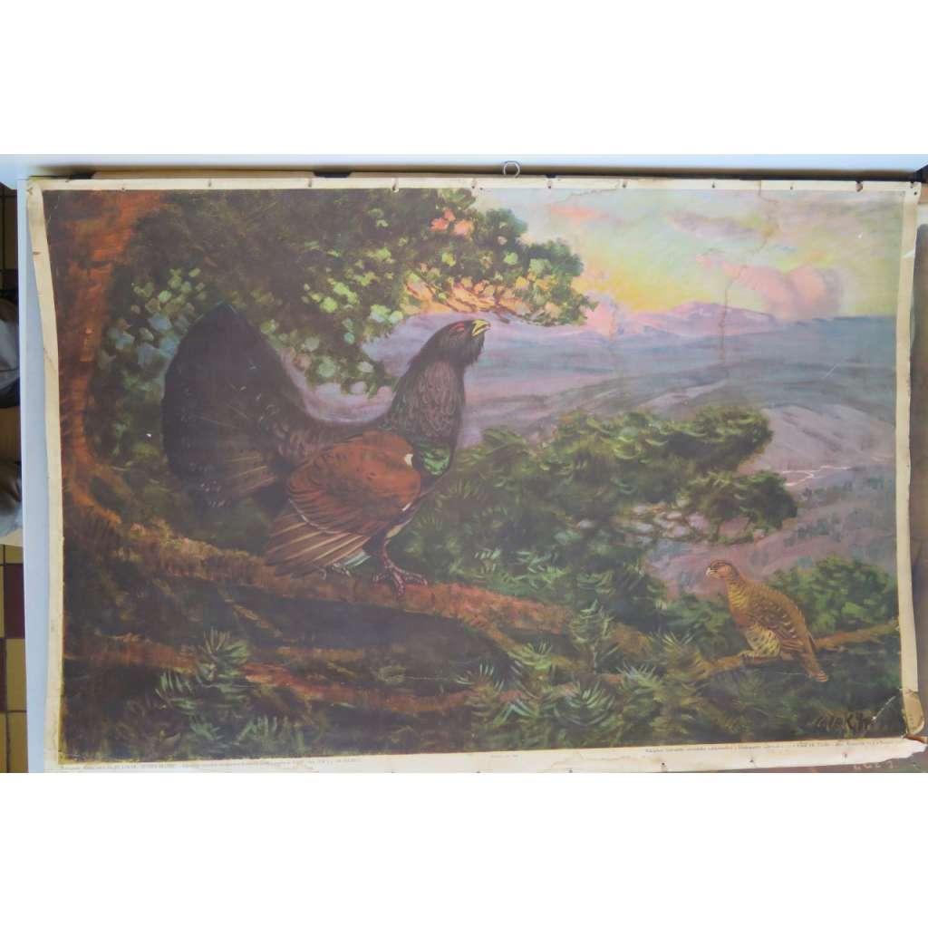 Tetřev hlušec - přírodopis - školní plakát