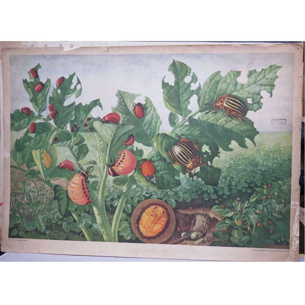 Mandelinka bramborová - přírodopis - školní plakát