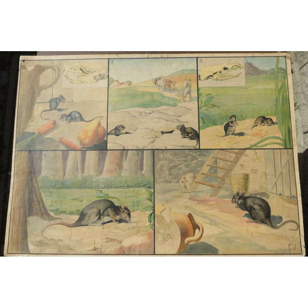 Hlodavci - myš potkan hrboš krysa rejsek - školní plakát - Nástěnné obrazy zoologické - přírodopis