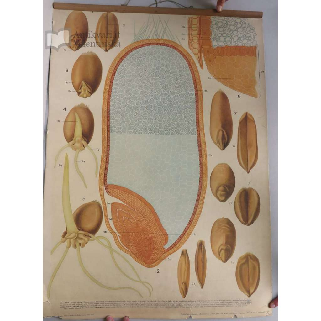 Stavba a klíčení obilky pšenice - přírodopis - školní plakát