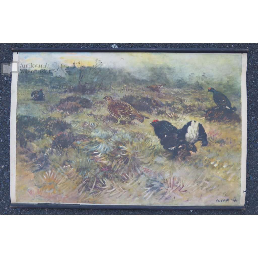 Tetřev a koroptev - ptáci - přírodopis - školní plakát