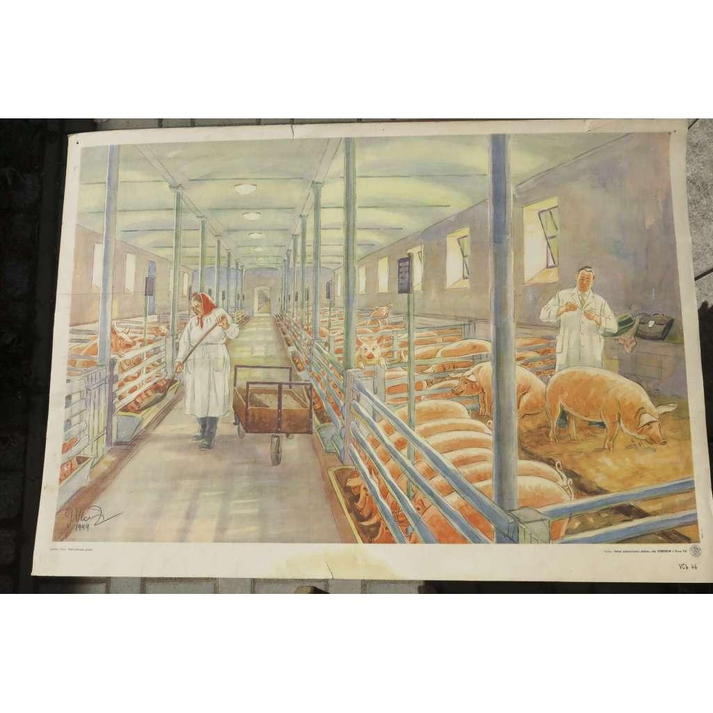 Velkovýkrmna prasat - školní plakát