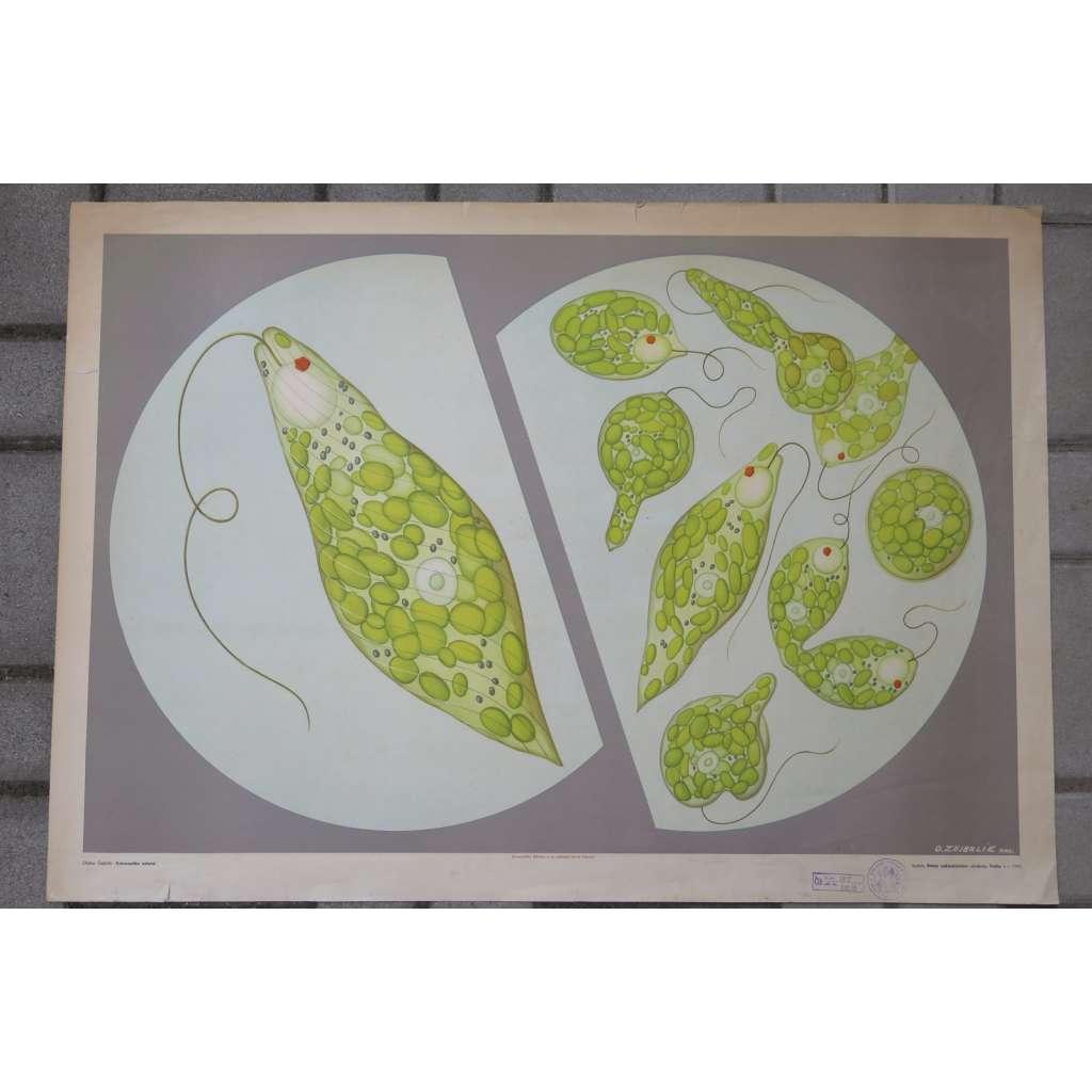 Krásnoočko zelené - přírodopis - školní plakát