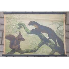 Kuna a veverka - přírodopis - školní plakát