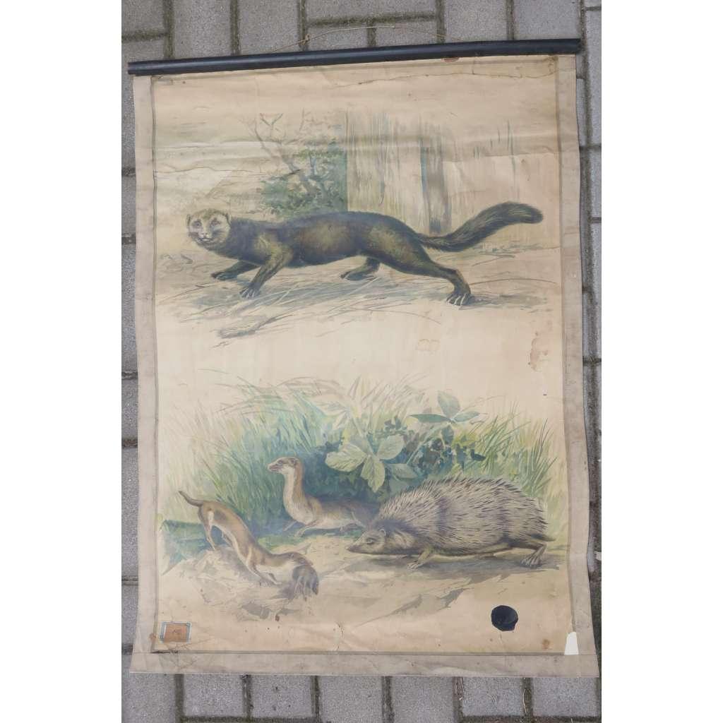Tchoř, ježek, lasice kolčava - přírodopis - školní plakát