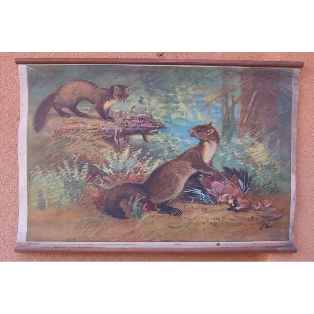 Kuna lesní a skalní - přírodopis - školní plakát