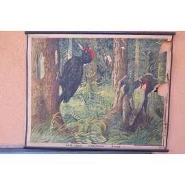 Datel černý, strakapoud a žluna - ptáci - školní plakát (poškoz.)