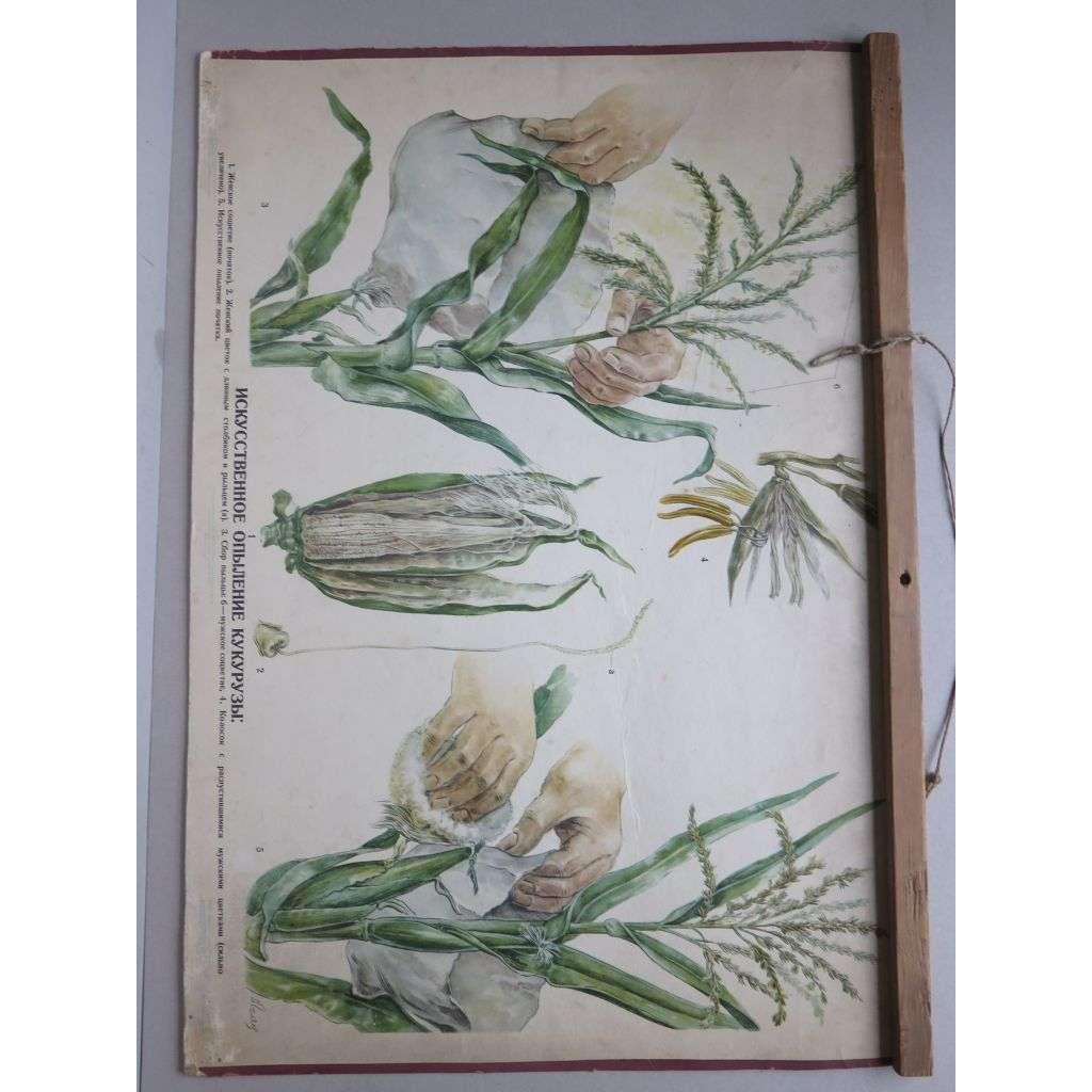 Kukuřice - přírodopis - školní plakát