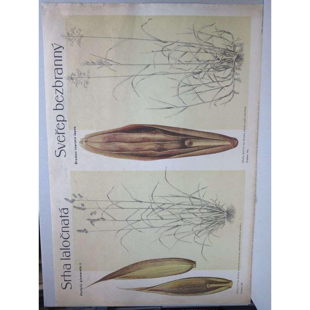 Srha laločnatá a sveřep bezbranný - tráva - přírodopis - školní plakát