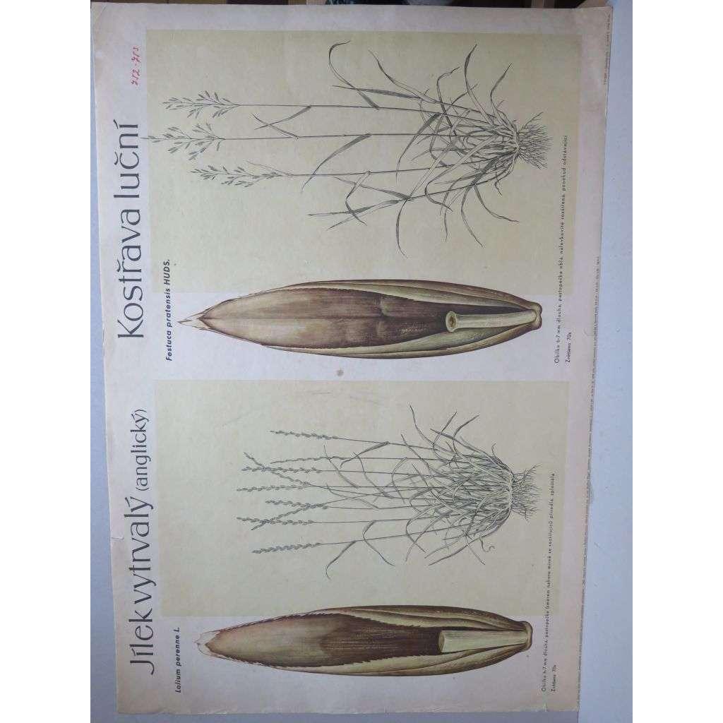 Jílek vytrvalý a Kostřava luční - tráva - přírodopis - školní plakát
