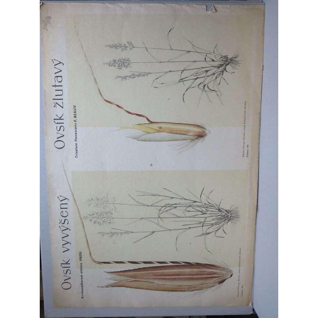 Ovsík vyvýšený a žlutavý - tráva - přírodopis - školní plakát