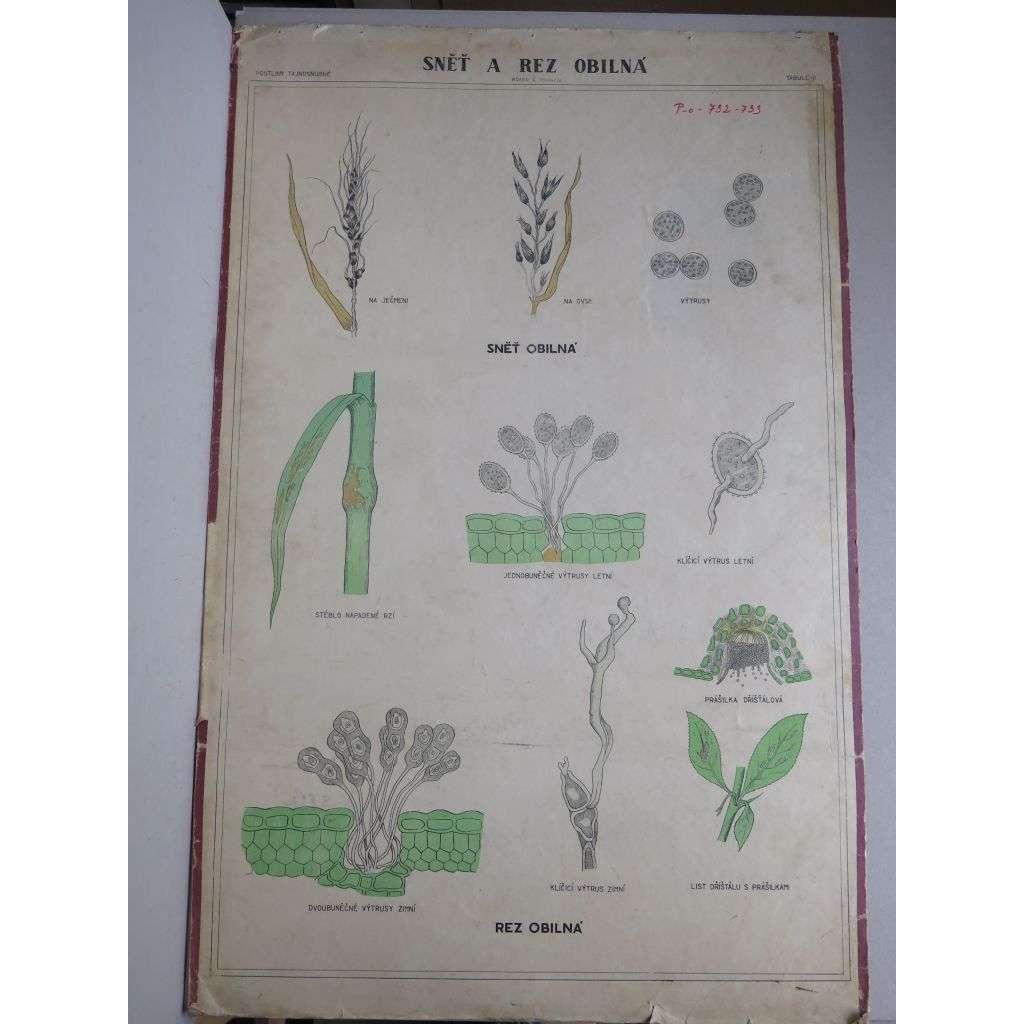 Sněť a rez obilná - parazitické houby - přírodopis - školní plakát
