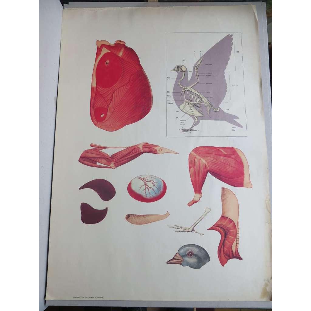 Holub - části těla - ptáci - školní plakát
