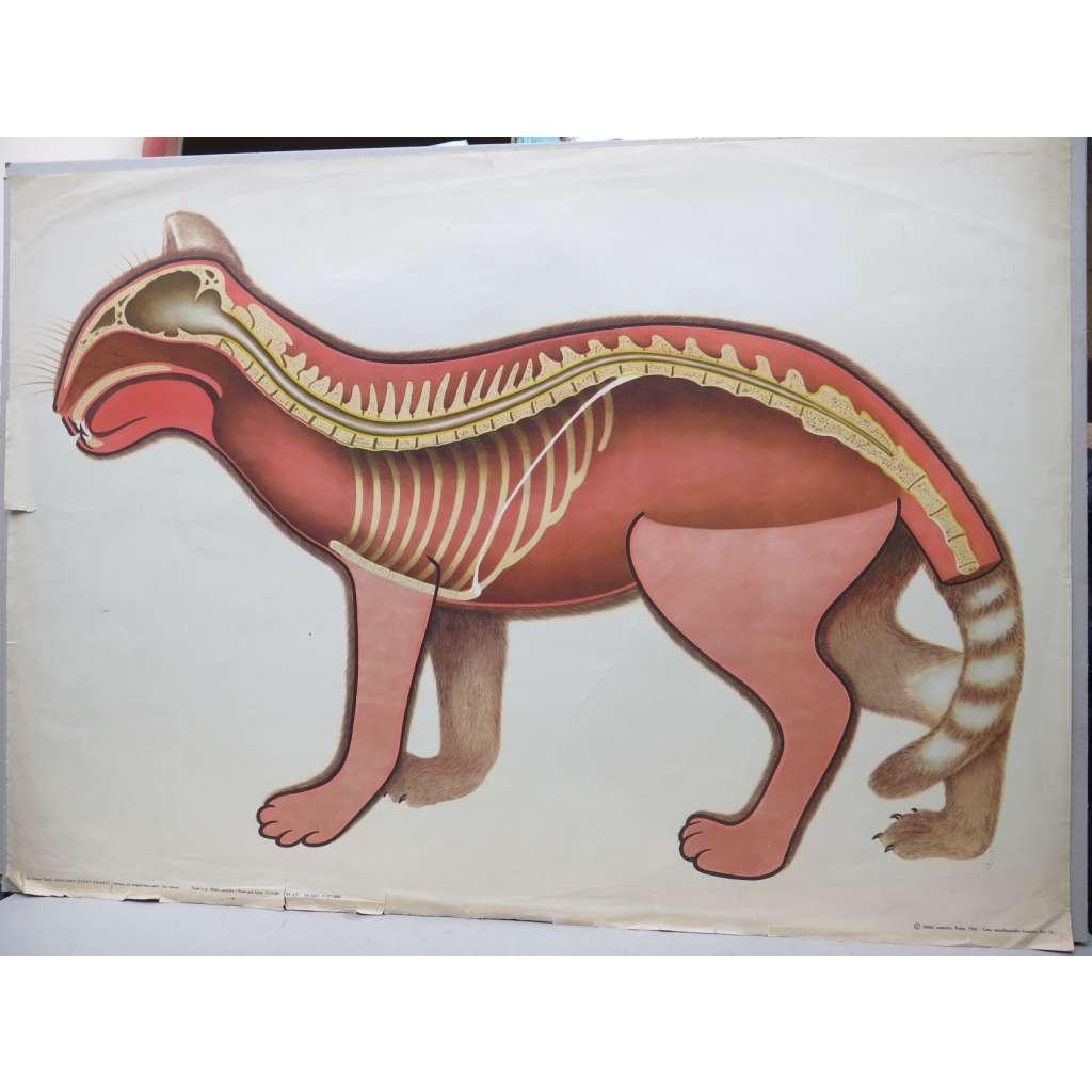 Kočka - stavba těla - přírodopis - školní plakát