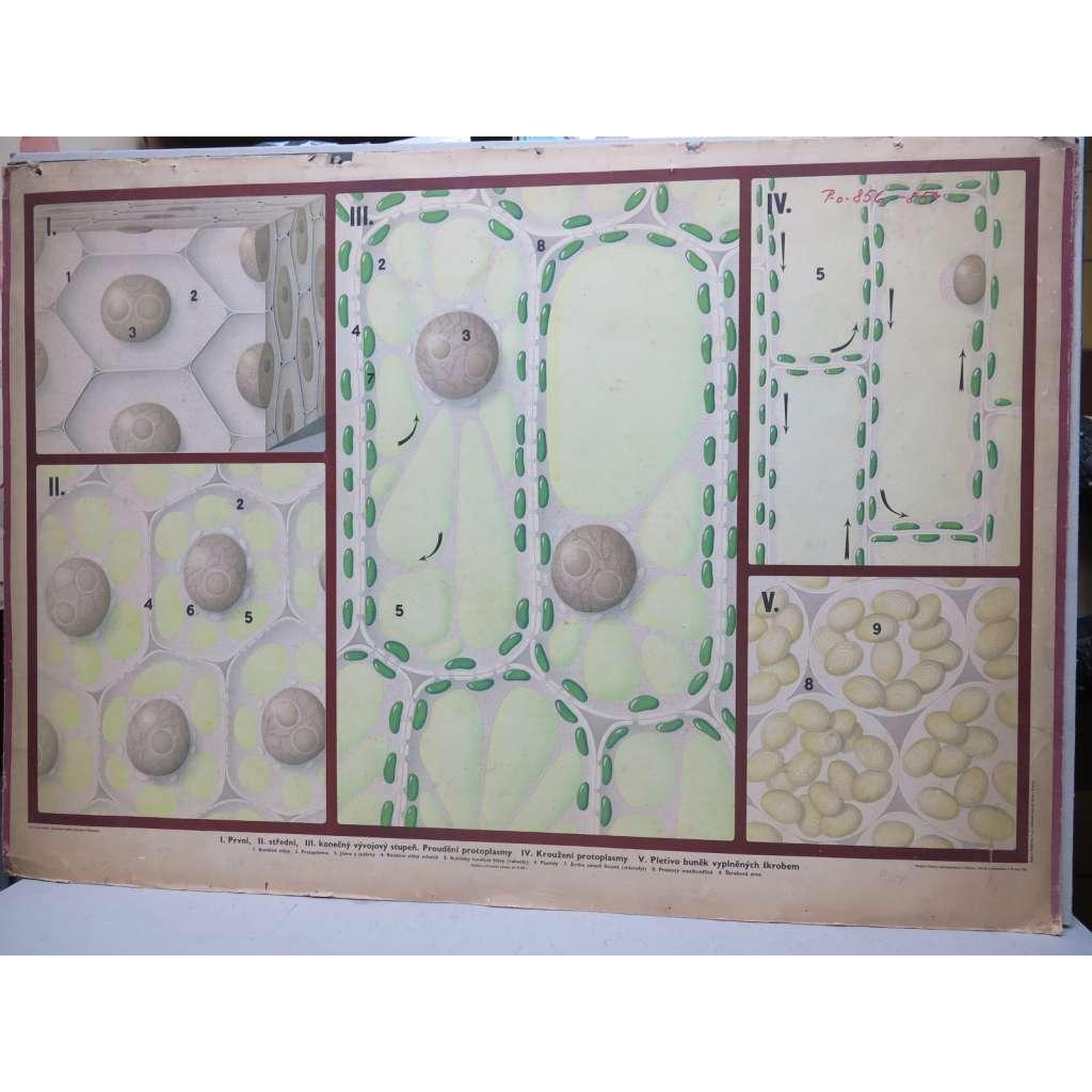 Rostlinná buňka, vývojové schema - přírodopis - školní plakát