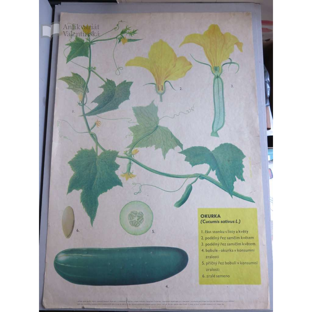 Okurka - obrazy rostlin - přírodopis - školní plakát