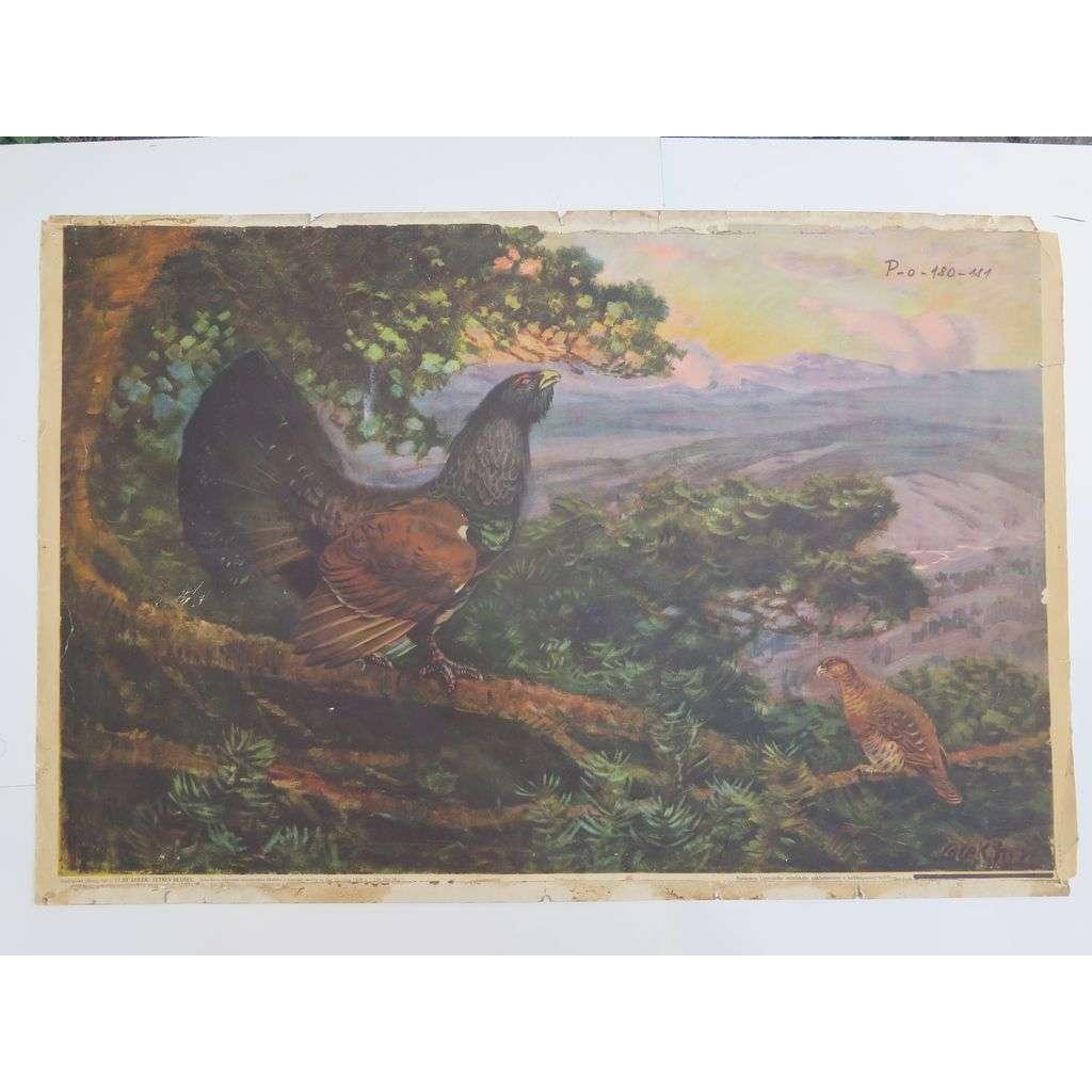 Tetřev - ptáci - přírodopis - školní plakát
