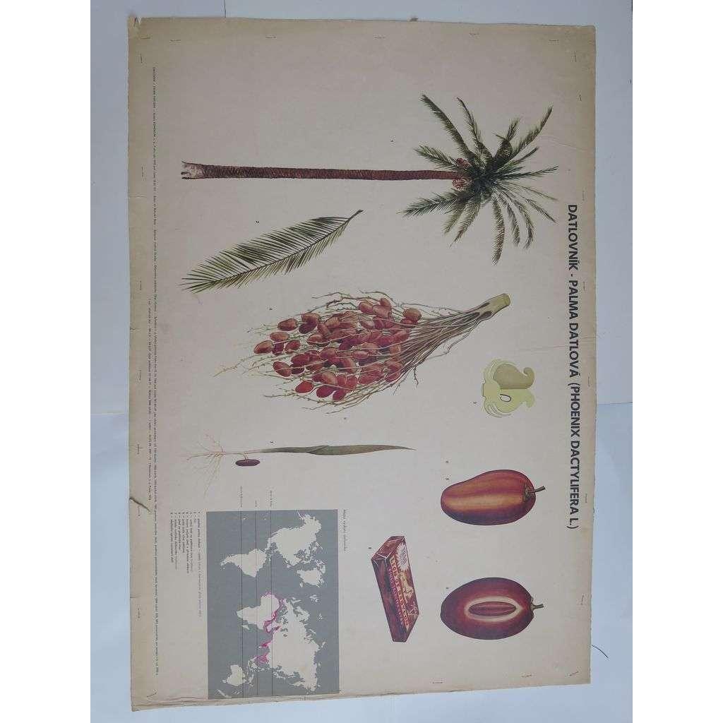 Datlovník, palma datlová - přírodopis - školní plakát
