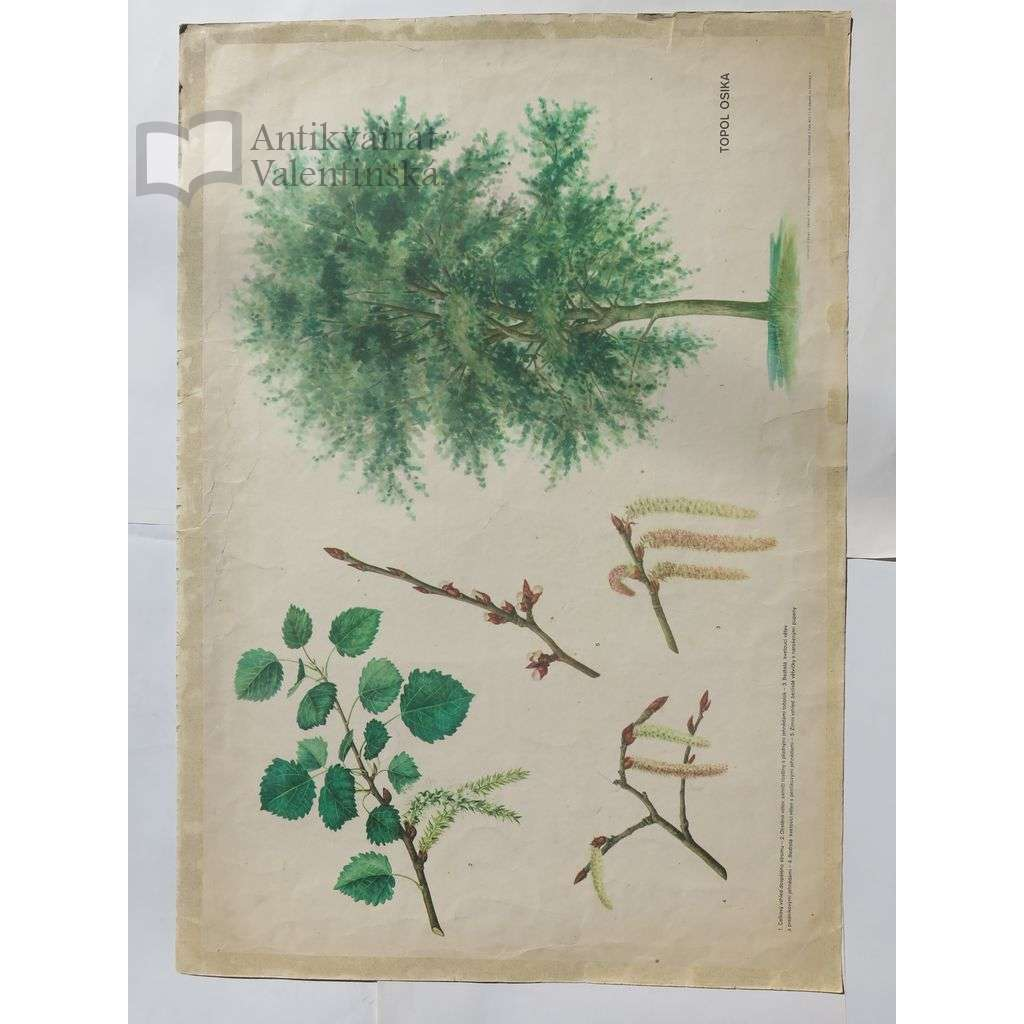 Topol osika - stromy - přírodopis - školní plakát