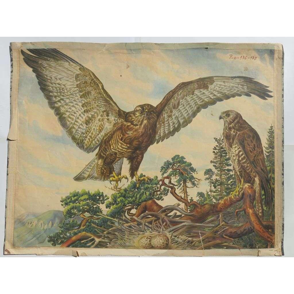 Dravci - Káně - ptáci- přírodopis - školní plakát