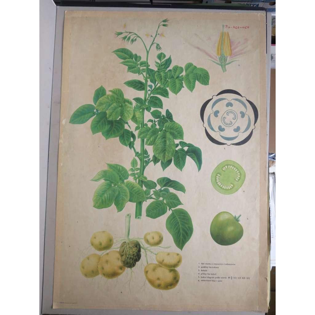 Brambor -  rostliny - přírodopis - školní plakát