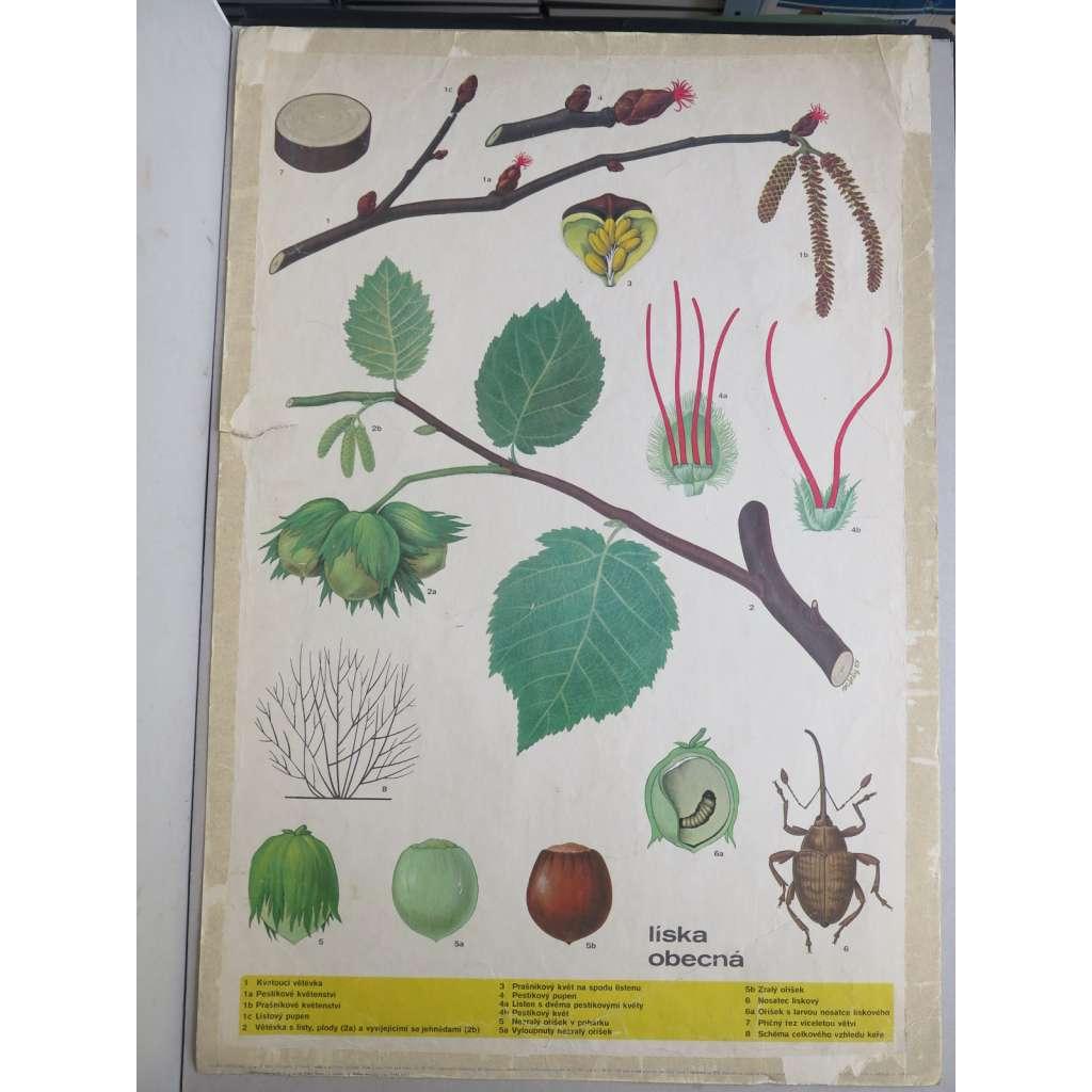 Líska obecná - rostliny - přírodopis - školní plakát