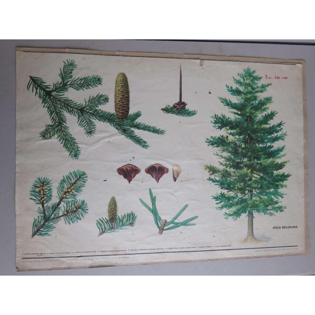 Jedle bělokorá - stromy - přírodopis - školní plakát