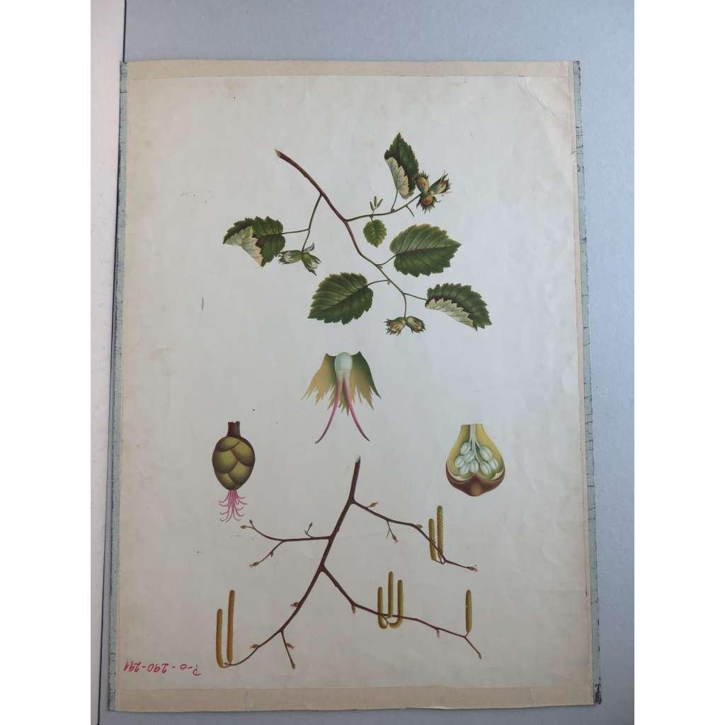 Líska - strom - přírodopis - školní plakát