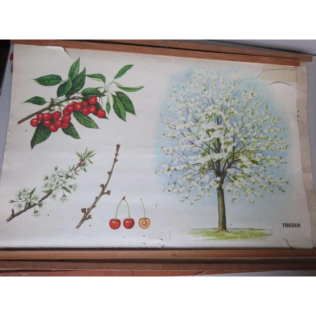 Třešeň - stromy - přírodopis - školní plakát