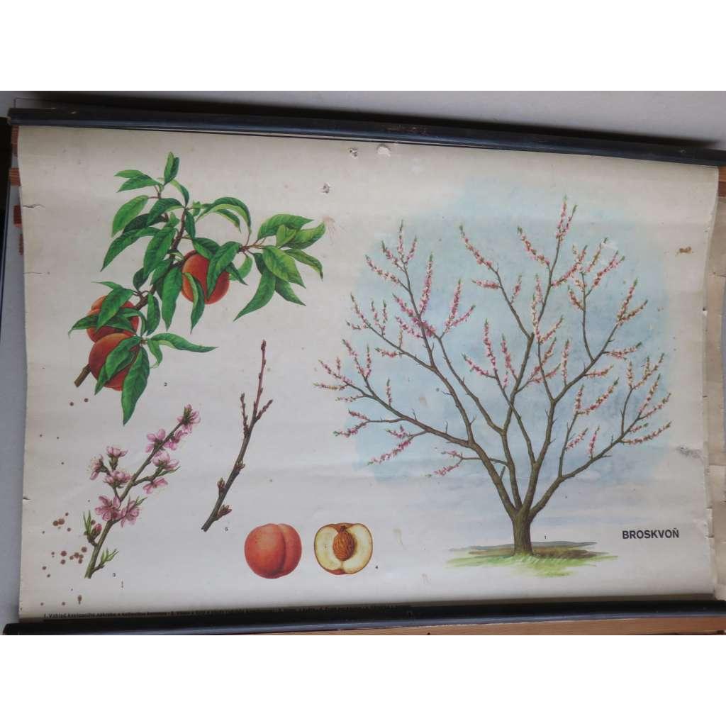 Broskvoň - stromy - přírodopis - školní plakát