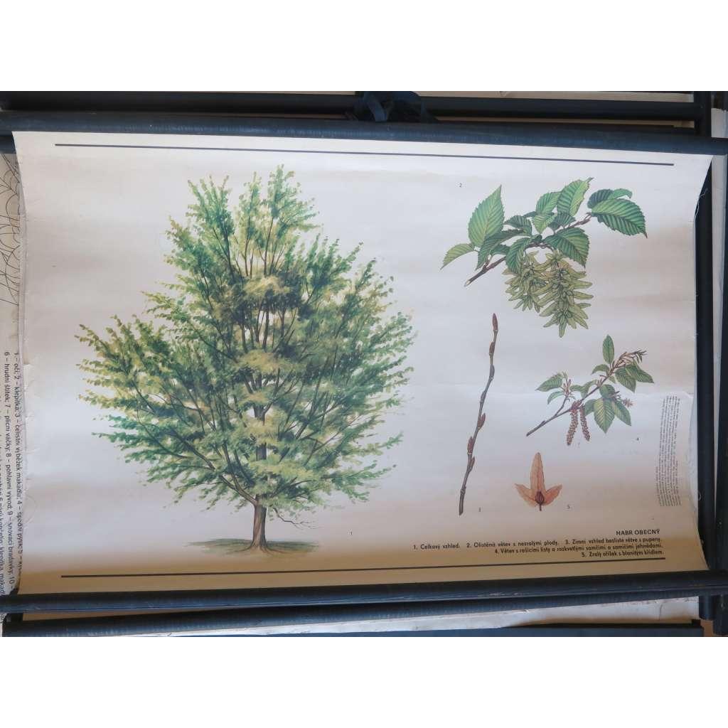 Habr obecný - strom - přírodopis - školní plakát